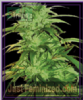 Emerald Triangle Lemon Haze Auto Fem 5 Seeds